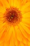 Gelbe Blume Stockfoto