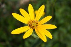 Gelbe Blume Stockfotos