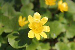 Gelbe Blume Lizenzfreies Stockfoto