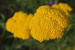 Gelbe Blume Achillea Filipendulina Stockfoto