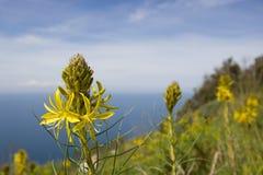 Gelbe Blume auf dem Vorgebirge von Circeo, Italien Stockfoto