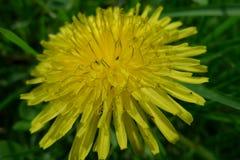 Gelbe Blume auf einem grünen Gebiet lizenzfreies stockbild