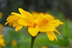 Gelbe Blume auf einem grünen Hintergrund Stockfotografie