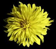 Gelbe Blume auf einem schwarzen Hintergrund lokalisiert mit Beschneidungspfad nahaufnahme große rauhaarige Blume Stockfotografie