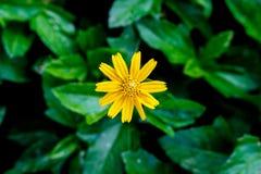 Gelbe Blume auf grünem natürlichem Hintergrund Stockbild
