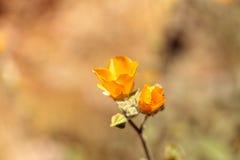 Gelbe Blume auf indischer Malve Palmer's, Abutilon palmeri Stockfotos