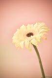 Gelbe Blume auf rosa Hintergrund Lizenzfreie Stockbilder
