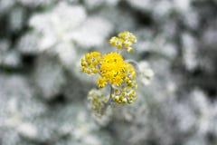 Gelbe Blume auf Unschärfeweißblatt Stockfotos