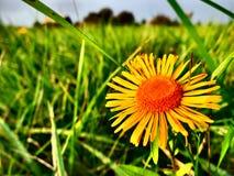 Gelbe Blume auf Wiese Stockfotos