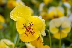 Gelbe Blume in den Tropfen des Morgentaus stockbild