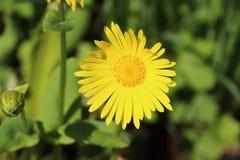 Gelbe Blume der Arnika lizenzfreies stockbild