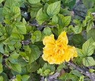Gelbe Blume der Begonie knötchenförmig in der Hecke lizenzfreie stockfotos
