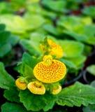 Gelbe Blume in der Blüte mit grünem Hintergrund Stockbilder