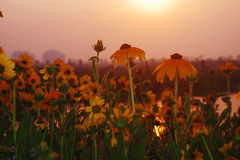 Gelbe Blume in der Blüte morgens Stockbild