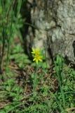 Gelbe Blume der Butterblume, die im Frühjahr im Wald blüht Lizenzfreie Stockfotos