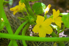 Gelbe Blume der Gurke Stockbild