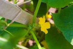 Gelbe Blume der Gurke Stockfotografie