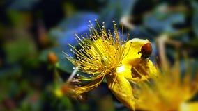 Gelbe Blume der Nahaufnahme mit den Staubgefässen in der Mitte und in den glänzenden kleinen Blättern herum lizenzfreies stockbild