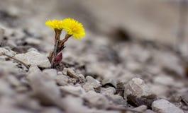 Gelbe Blume in der Natur Es wächst auf Felsen im Felsen Stockfotos