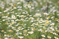 Gelbe Blume in der Türkei Lizenzfreies Stockbild