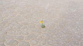 Gelbe Blume in der Wüste, Rennbahn playa Stockbild