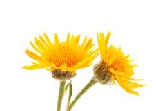 Gelbe Blume der Wiese lizenzfreies stockbild