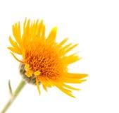 Gelbe Blume der Wiese lizenzfreie stockfotografie