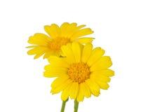 Gelbe Blume der Wiese lizenzfreie stockbilder