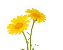 Gelbe Blume der Wiese lizenzfreie stockfotos