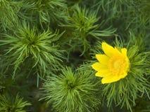 Gelbe Blume des Auges der pheasantÂs Stockfotografie