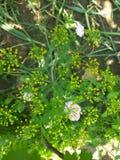 Gelbe Blume des Dills Lizenzfreie Stockfotografie