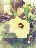 gelbe Blume des essbaren Eibisches Stockbild