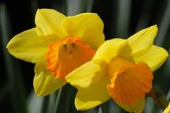 Gelbe Blume des Frühlinges Stockfotografie