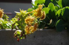 Gelbe Blume des Frühlinges im Blumengrautopf Lizenzfreie Stockfotos