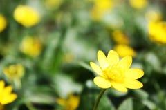 Gelbe Blume des Frühlinges im Grün Stockbild