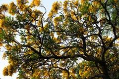 Gelbe Blume des goldenen Baums Tabebuia Chrysantha in Ang Thong, Thailand Lizenzfreies Stockbild