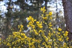 Gelbe Blume des Stechginsters lizenzfreie stockfotografie