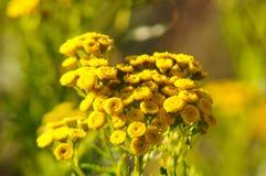 Gelbe Blume des Tansy Stockfotos