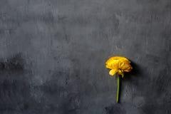 Gelbe Blume, die auf grauem konkretem Hintergrund liegt Flache Lage Beschneidungspfad eingeschlossen Kopieren Sie Raum für Text stockfotografie