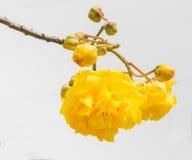 , gelbe Blume, die an blüht Lizenzfreie Stockbilder