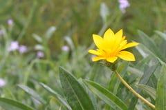 Gelbe Blume, die klar glänzt Stockbilder