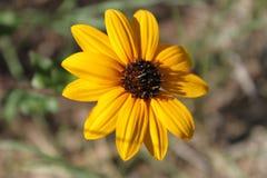 Gelbe Blume, die vom Hinterhof blüht lizenzfreie stockbilder