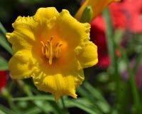 Gelbe Blume an einem sonnigen Tag gegen einen roten und grünen Hintergrund Stockfotografie