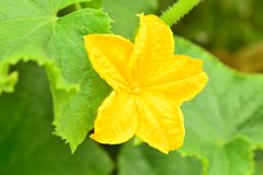 Gelbe Blume einer Gurke stockfotos