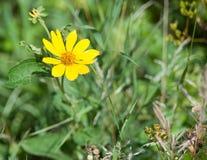 Gelbe Blume in einer Wiese lizenzfreie stockfotos
