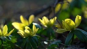 Gelbe Blume, Eranthis hyemalis stock video