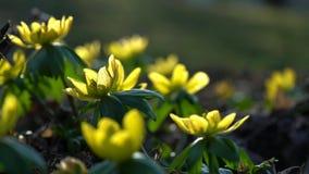 Gelbe Blume, Eranthis hyemalis stock footage