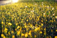 Gelbe Blume - Erdnuss duranensis Stockbilder