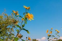 Gelbe Blume gegen blauen Himmel stockfotos