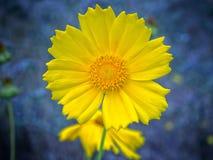 Gelbe Blume gegen blauen Hintergrund lizenzfreie stockfotos